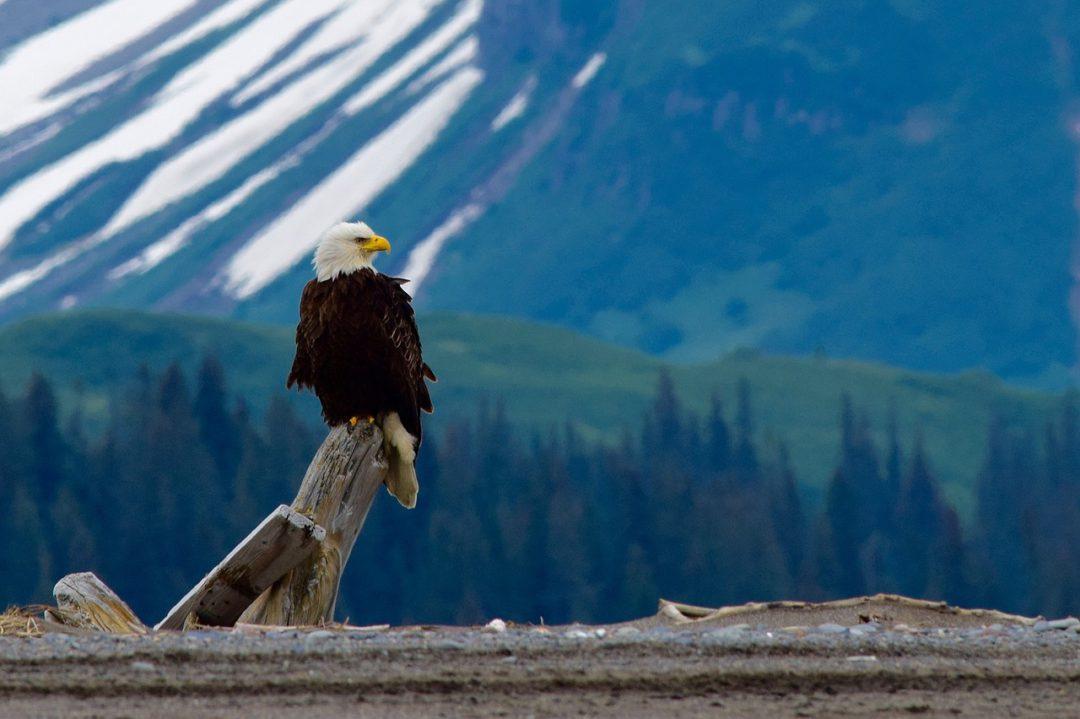 Águia e Imperador - Poder e Superioridade - Carolicia