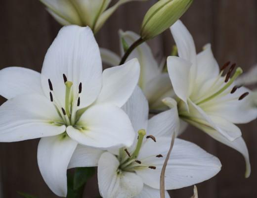 lirio-branco-gentileza-gratidao